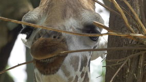 Jirafa que come y que mastica en la ramita - vista delantera de la cámara lenta del primer almacen de metraje de vídeo