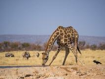 Jirafa que dobla abajo a la bebida en el agujero de agua en el parque nacional de Etosha, Namibia, África meridional fotografía de archivo