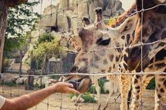 Jirafa que dobla abajo para comer de una mano del hombre a través de la cerca Foto de archivo