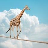 Jirafa que equilibra en una cuerda tirante Fotografía de archivo