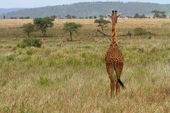 Jirafa que hace frente lejos en los llanos de la hierba Imagen de archivo