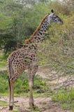 Jirafa que hojea en ramificaciones de árbol espinosas, Serenget Foto de archivo