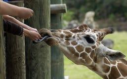 Jirafa que introduce de Peole en parque zoológico Fotos de archivo