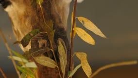 Jirafa que lame la lengua larga con las hojas frescas y jugosas de un arbusto del árbol Un plan principal animal grande Ojos de u almacen de metraje de vídeo