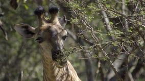 Jirafa que mastica en las hojas del árbol metrajes
