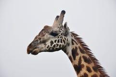 Jirafa que mira fijamente en la África salvaje Imagenes de archivo