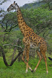 Jirafa que recorre delante de árboles, Tanzania. Foto de archivo