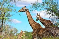 Jirafa que se coloca en arbusto africano Imagenes de archivo