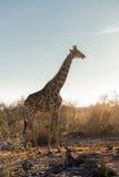 Jirafa que se coloca en el arbusto en la puesta del sol Fotos de archivo libres de regalías