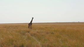 Jirafa que se coloca en Savannah With Tall Dried Grass africana en la estación seca almacen de metraje de vídeo