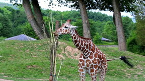Jirafa reticulada (lat Reticulata de los camelopardalis del Giraffa) almacen de video