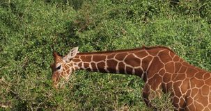 Jirafa reticulada, reticulata de los camelopardalis del giraffa, adulto que come las hojas, parque de Samburu en Kenia, almacen de metraje de vídeo
