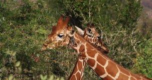 Jirafa reticulada, reticulata de los camelopardalis del giraffa, adulto que come las hojas, parque de Samburu en Kenia, jirafa re metrajes