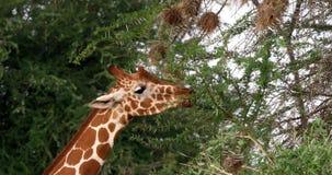 Jirafa reticulada, reticulata de los camelopardalis del giraffa, adulto que come las hojas, parque de Samburu en Kenia, jirafa re almacen de video