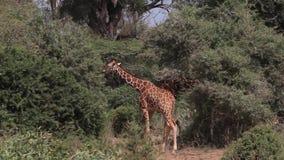 Jirafa reticulada, reticulata de los camelopardalis del giraffa, adultos que caminan en Bush, parque de Samburu en Kenia, almacen de metraje de vídeo