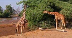 Jirafa reticulada, reticulata de los camelopardalis del giraffa, adultos que comen las hojas, parque de Samburu en Kenia, almacen de video