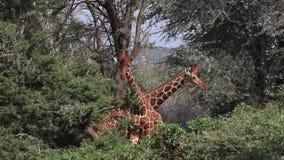 Jirafa reticulada, reticulata de los camelopardalis del giraffa, adultos que luchan en Bush, parque de Samburu en Kenia, metrajes