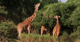 Jirafa reticulada, reticulata de los camelopardalis del giraffa, grupo en el parque de Samburu en Kenia, almacen de video