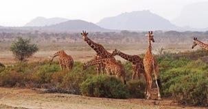 Jirafa reticulada, reticulata de los camelopardalis del giraffa, grupo en el parque de Samburu en Kenia, almacen de metraje de vídeo