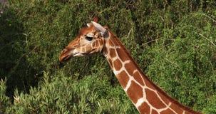 Jirafa reticulada, reticulata de los camelopardalis del giraffa, parque de Samburu en Kenia, almacen de metraje de vídeo