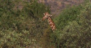 Jirafa reticulada, reticulata de los camelopardalis del giraffa, parque de Samburu en Kenia almacen de metraje de vídeo