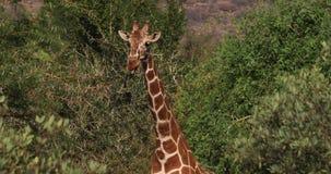 Jirafa reticulada, reticulata de los camelopardalis del giraffa, parque de Samburu en Kenia, R almacen de video