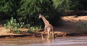 Jirafa reticulada, reticulata de los camelopardalis del giraffa, río adulto de la travesía, parque de Samburu en Kenia, almacen de metraje de vídeo