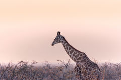 Jirafa solitaria de Etosha Fotos de archivo