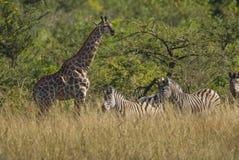 Jirafa Suráfrica imagenes de archivo