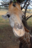 Jirafa, Suráfrica Imagen de archivo libre de regalías