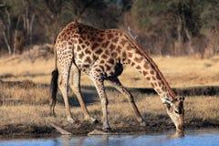 Jirafa surafricana Imágenes de archivo libres de regalías