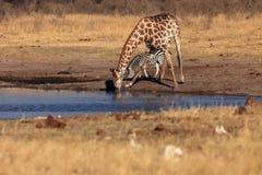 Jirafa surafricana Fotos de archivo libres de regalías