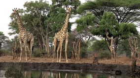 Jirafa surafricana, camelopardalis giraffa, grupo del giraffa en el agujero de agua, cerca del río de Chobe, Botswana, almacen de metraje de vídeo
