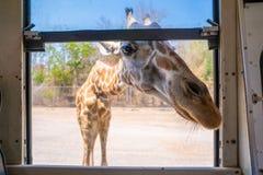 Jirafa tan cercana en el parque del safari fotos de archivo