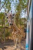 Jirafa tan cercana en el parque del safari imágenes de archivo libres de regalías