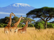 Jirafa tres en fondo del soporte de Kilimanjaro imagenes de archivo