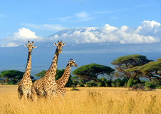 Jirafa tres en fondo del soporte de Kilimanjaro en el parque nacional o imagen de archivo