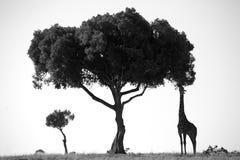 Jirafa y árbol fotografía de archivo