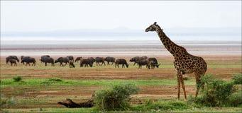 Jirafa y búfalos. Fotografía de archivo