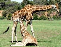 Jirafa y bebé Imagenes de archivo