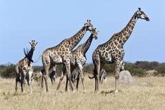 Jirafa y cebra - Botswana Imágenes de archivo libres de regalías