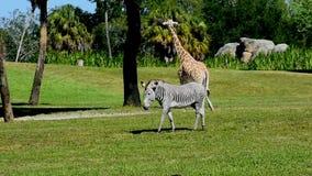 Jirafa y cebra en prado verde en los jardines de Busch metrajes