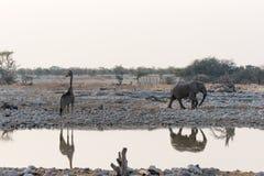 Jirafa y elefante Fotografía de archivo libre de regalías