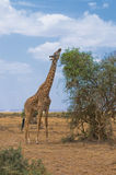 Jirafa y un árbol Fotos de archivo