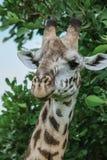 Jirafas africanas salvajes en el parque nacional de Mikumi, Tanzania fotos de archivo libres de regalías