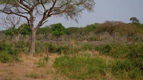 Jirafas africanas salvajes Graze In Thickets Of Thorns entre árboles del acacia metrajes