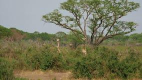 Jirafas africanas salvajes ocultar y pastar en matorrales de espinas entre ?rboles del acacia almacen de metraje de vídeo