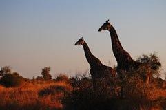 Jirafas (camelopardalis del Giraffa) imágenes de archivo libres de regalías