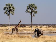 Jirafas, camelopardalis del Giraffa en el parque nacional de Etosha, Namibia imágenes de archivo libres de regalías