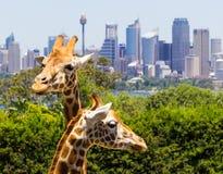 Jirafas con una vista fabulosa de Sydney imagenes de archivo